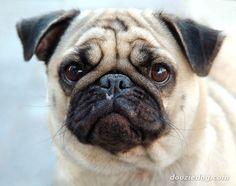 a rolly pollie pug!