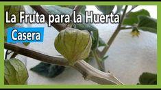 Como sembrar Uchuva / Uvilla en Huerta Casera