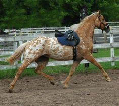 Friesian appaloosa cross   Horses
