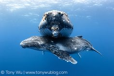 An poster sized print, approx (other products available) - Humpback whale calf (Megaptera novaeangliae) male resting beneath his resting mother. - Image supplied by Nature Picture Library - Poster printed in the USA Kinds Of Whales, Save The Whales, Great Whale, Whale Art, Humpback Whale, Killer Whales, Underwater Photography, Marine Life, Sea Creatures