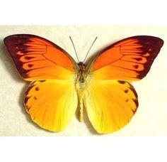detanii neon orange butterfly