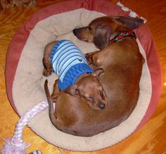 My mommy makes the best pillow for a nap! #dachshund #doxiedarlin
