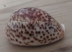 Antique cowrie shell snuff box by wilsonscollectables on Etsy