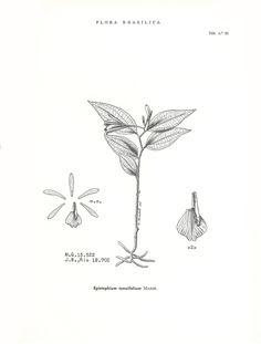 Image result for Epistephium ellipticum