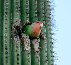 A peach faced lovebird perches on a saguaro cactus. They nest in the holes in the saguaro cactuses that have been made by other birds (mostly woodpeckers and flickers) Peach Faced Lovebirds in Phoenix, AZ – Parrots in Cactus! Arizona Birds, Arizona Cactus, Desert Cactus, Cutest Animals On Earth, Cute Animals, Love Birds, Beautiful Birds, Budgies, Parrots
