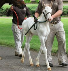 A white Standardbred colt was born to two solid (unmarked) bay horses, believed to be a previously undiscovered white mutation. (He's not albino.)