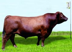 Cuis - Red Angus