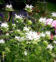 """Valet till nr. 6 faller på vit temynta - Monarda didyma. Ännu ett förslag till sommarens vita rabatter. Temyntan trivs både i sol och halvskugga - har dock märkt att det blir mindre """"vitt mjöl"""" på de som står i sol. Ca 80 cm, doftar gott och blommar från juli - sept. Zon 5 i alla fall. Temyntan finns i flera färger, själv har jag: ljuslila, mörkare lila, röd, gul-ljusskär ( M. punctata)."""