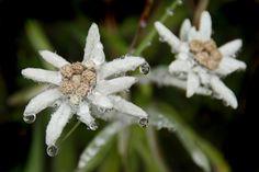 My Edelweiss... Switserland. Please like!!