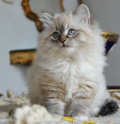 Siberian kitten. This is one cute little kitty. I will have another kitty. We you be mine?