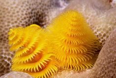 Spirobranchus giganteus Yellow christmas tree worm, Fiji.