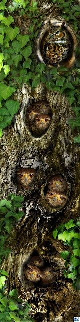 Knotty Heye Rise. Great Horned Owl family