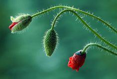 Poppy by Kasia MYCATHERINA