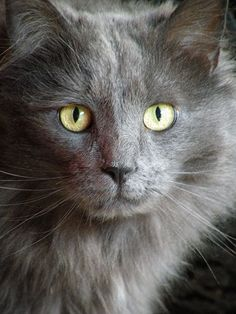 6/4/16..This looks exactly like my cat, Meesha!  He is breed that is new.  Large paws and big in general, called Nebelung (German name)
