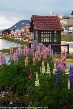 Ushuaia, Tierra del Fuego, Argentina.  These flowers were in full bloom when we visited.