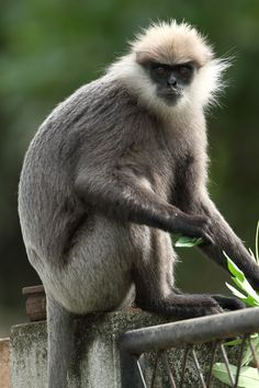 ASIA - There are four distinct subspecies of purple-faced langur: Southern lowland wetzone purple-faced langur (Trachypithecus vetulus vetulus), Western purple-faced langur or north lowland wetzone purple-faced langur (Trachypithecus vetulus nestor), Dryzone purple-faced langur (Trachypithecus vetulus philbricki), and Montane purple-faced langur or Bear Monkey (Trachypithecus vetulus monticola).