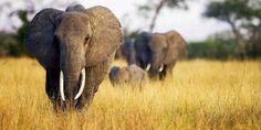 Avaaz - Stop the Elephant Death Sentence