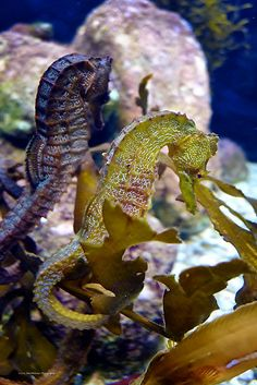 ☆ Sea Horse :¦: Photography By Smoothstones ☆ by Divonsir Borges Underwater Creatures, Underwater Life, Wild Creatures, Ocean Creatures, Leafy Sea Dragon, Beautiful Sea Creatures, Life Under The Sea, Water Animals, Beautiful Ocean