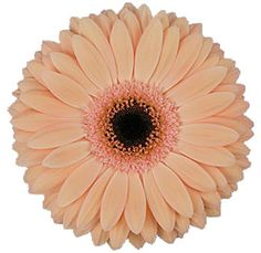 peach-gerbera-laureen.jpg (350×340)