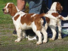Welsh Springer Spaniel & Pups ~ Classic Look & Trim Welsh Springer Spaniel Puppies, Clumber Spaniel, Spaniel Breeds, Dog Breeds, Doggies, Dogs And Puppies, Field Spaniel, Irish Setter, English Springer