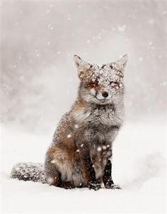 Adorable Fox in the Fresh Fallen Snow.