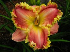 Diana's Evening Gown daylily - Yahoo! Search Results