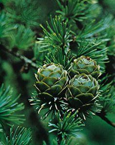 larch | tree | Britannica.com
