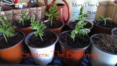 Propagating herbs is a simple way to share your love of gardening with friends. Beth Billstrom of More than Oregano shows how in this step-by-step tutorial. || @bethbillstrom