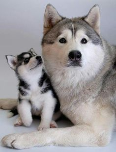alaskan husky and puppy