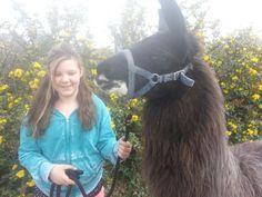 Carlos the llama going for a walk. Walking, Animals, Animales, Animaux, Walks, Animal, Animais, Hiking