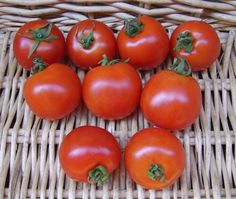 Tomato, Stupice - Earliest and great tasting tomato in my garden last year.