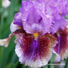 Lights Camera Action Bearded Iris