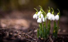 подснежники, Природа, весна, макро, цветы, растения