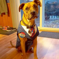 Sick of the same ole same ole politics?? Want another choice?? Vote for Sarge!! 😁😁😁 #politics #candidate #petcostume #dogcostume #halloween #halloweencostume #pit #pitsofinstagram #dog #cute #funny