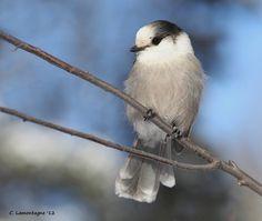 Gray Jay, by ~1ladybug~ via Flickr