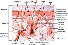 human nervous system near the skin Stretch Mark Cream, Stretch Marks, Human Integumentary System, Human Nervous System, Skin Anatomy, Skin Structure, Human Anatomy And Physiology, Body Systems, Life Science