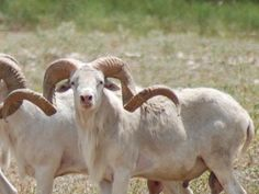 Texas Dall sheep hunt at V-Bharre Ranch in Texas.