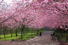 Parque lleno de cerezos. Autora foto: Annika Banfield.