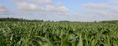 Biotech crops have beneficial impact on the environment and farmers bottom lines, report finds
