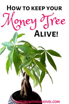 Don& kill your money tree! Find out how to properly care for your plant with these awesome, easy money tree plant care tips! Keep your plant friend happy! Money Tree Plant Care, House Plant Care, Tree Care, Jade Plant Care, Apartment Plants, House Plants Decor, House Tree Plants, Plant Decor, Jade Plants