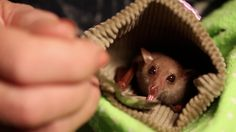 Blossom is a baby blossom bat that came into the care of Louise Saunders of Bat Conservation and Rescue Queensland following a suspected cat attack, according to ZooBorns. The tiny bat was nursed back to health on nectar mix and milk formula, and was raised from a baby under Saunders' care. Once Blossom was strong enough, the bat was released back into the wild on Macleay Island in Queensland, Australia.