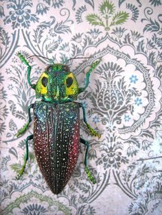 Jewel Beetles from Madagascar  Framed Insect Art by InsectArt