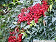 Nandina....has lovely red berries in the winter ( there are now varieities that have white berries) It gets pretty tall, although there are some now that don't get as tall. Very hardy!!!
