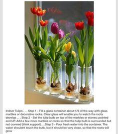 How to grow flower bulbs in water garden pinterest bulbs grow indoor tulipsspring year round mightylinksfo