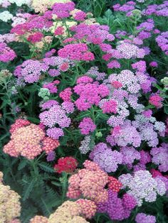 Yarrow--grows easily in Colorado and the flowers press nicely!
