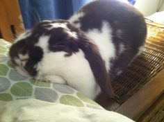 Bunny can't decide if she wants to be on the bed or the table, so she goes for both - May 15, 2013