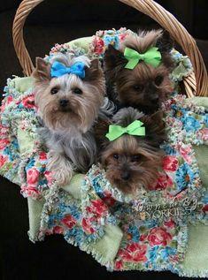 Basket of yorkies. Sweet.  #dogs #yorkie