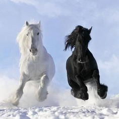 Black Friesian Stallion Fel Non And White Shire Horse Gustav Last Winter 2010 Thank You All For Daily Deviation It Is Mu Second Dd I Am Very Hy