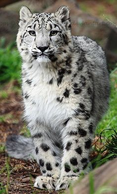 Baby snow leopard  (Uncia uncia). A moderately large cat native to the mountain ranges of Central Asia.