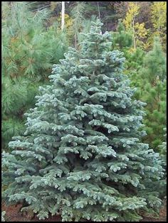 Picea pungens - Colorado Blue Spruce. We planted 7 18'' tall trees 14 years ago from the Soil and Water Conservation, and now they are 12-15' tall and 10-12' wide. Love their sturdiness and spring color.
